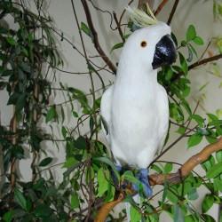 Perroquet - Cacatoes blanc, H. 60 cm